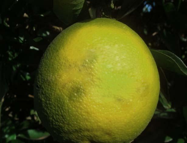 laranja-sa